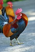 foto of fighting-rooster  - Beautiful decorative rooster on the farm in the spring - JPG