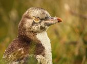 picture of endangered species  - A juvenile Yellow-eyed Penguin, an endangered species, peering back. ** Note: Visible grain at 100%, best at smaller sizes - JPG