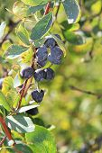 picture of barberry  - ripe berries of barberry on a branch - JPG