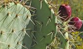 picture of prickly-pear  - A close up of the spines and blossoms of a Prickly Pear Cactus - JPG