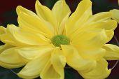 stock photo of chrysanthemum  - Chrysanthemum flower - JPG