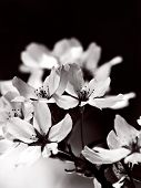 picture of black-cherry  - Blooming cherry blossom flowers in monotone - JPG