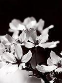 pic of black-cherry  - Blooming cherry blossom flowers in monotone - JPG