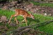 foto of tail  - White-Tailed Deer Fawn (Odocoileus virginianus) Trots Right - captive animal