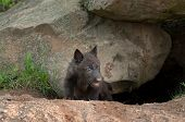 stock photo of lupus  - Black Wolf Pup (Canis lupus) Climbs out of Den - captive animal ** Note: Shallow depth of field - JPG