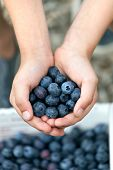 stock photo of pick up  - Close up of a young boys hands holding a bunch of fresh picked blueberries - JPG