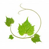 stock photo of vines  - decorative pattern of vine leaves isolated on white background - JPG