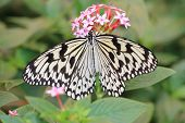 stock photo of butterfly  - Large Tree Nymphs butterfly and flowers - JPG