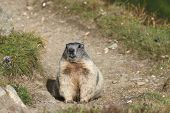 stock photo of marmot  - Alpine Marmot  - JPG