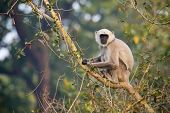 pic of hanuman  - Semnopithecus entellus - JPG
