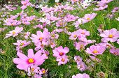 picture of cosmos  - Pink Cosmos in the field mixed with white Cosmos flower - JPG