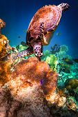 stock photo of hawksbill turtle  - Hawksbill Turtle  - JPG