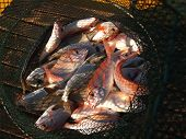 foto of fresh water fish  - Freshly caught various salt water fish in a net - JPG