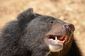 foto of species  - Black Bear is dangerous species in forest thailand and it live everywhere in forest v - JPG