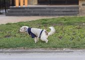 picture of peeing  - Female dog peeing on grass on the street - JPG