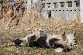 stock photo of stray dog  - Stray dog lies on his back - JPG