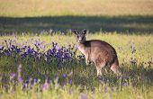 stock photo of kangaroo  - Australian kangaroo in a field of flowering bushland - JPG