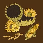 picture of sunflower-seed  - Greeting card includes yellow flower of sunflower - JPG