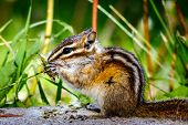 picture of chipmunks  - Least chipmunk eating grass by the side of the road - JPG