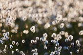 stock photo of marsh grass  - Intentionally blurred field of cotton grass flowers in back light - JPG