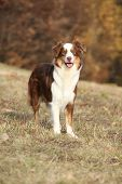 stock photo of australian shepherd  - Amazing beautiful australian shepherd in autumn outdoor - JPG