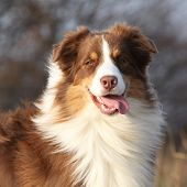 image of australian shepherd  - Amazing beautiful australian shepherd looking at you in autumn outdoor - JPG