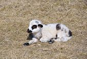 image of spring lambs  - Little lamb standing alone on field in spring - JPG