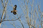foto of belly-band  - Nest Building Time for the Red-Tail Hawk ** Note: Soft Focus at 100%, best at smaller sizes - JPG