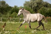 foto of colt  - Beautiful gray andalusian colt  - JPG
