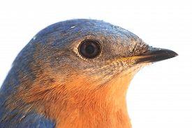 picture of bluebird  - Close - JPG