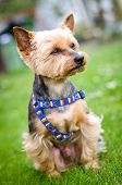 picture of yorkshire terrier  - Young yorkshire terrier that is sitting the lawn - JPG