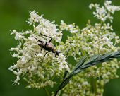 foto of longhorn  - spotted longhorn beetle on a blooming meadowsweet macro selective focus shallow DOF - JPG
