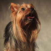 image of yorkie  - picture of a cute yorkie puppy dog with long coat standing with mouth open and looking up on studio background - JPG