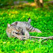 foto of disobedient  - funny cat gnaws branch on green grass closeup - JPG