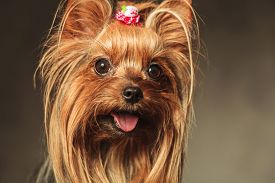 image of little puppy  - closeup picture of a happy little yorkshire terrier puppy dog face with mouth open and tongue exposed - JPG