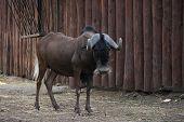 Herbivorous Mammal Africa-wildebeest In The Zoo Enclosure. poster