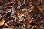Carpet Of Autumn Leaves. Fallen Autumn Leaves On The Ground. poster