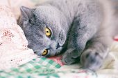 Affectionate Gray Cat Lying On The Warm Blanket And Purring poster