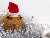 Cute Funny Guinea Pig Wearing A Santa Hat Among Christmas Decorations (against A White Background, C poster