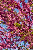 pic of judas tree  - Judas tree - JPG