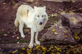 Arctic Wolf Or Polar White Wolf (subspecies Of Gray Wolf) Looking At Camera In Autumn Fall Day. poster