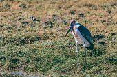 Big Scavenger Marabou Storks (leptoptilos Crumeniferus),large Wading Bird In The Stork Family Ciconi poster