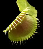 foto of flytrap  - illuminated venus flytrap detail in black back - JPG