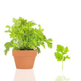 stock photo of feverfew  - Feverfew herb growing in a terracotta pot with leaf sprig over white background with reflection - JPG