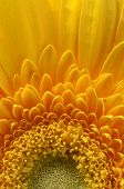 Macro Of Yellow Flower