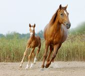 image of animal husbandry  - mare and foal walking togeher in a paddock - JPG