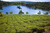 image of mauritius  - Tea plantation  - JPG