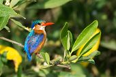picture of malachite  - A Malachite Kingfisher (Alcedo cristata) perched on a mangrove branch