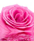 stock photo of pink rose  - the pink rose with water drops macro - JPG