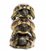 Front view of three baby Hermann's tortoise piled up, Testudo hermanni, isolated on white